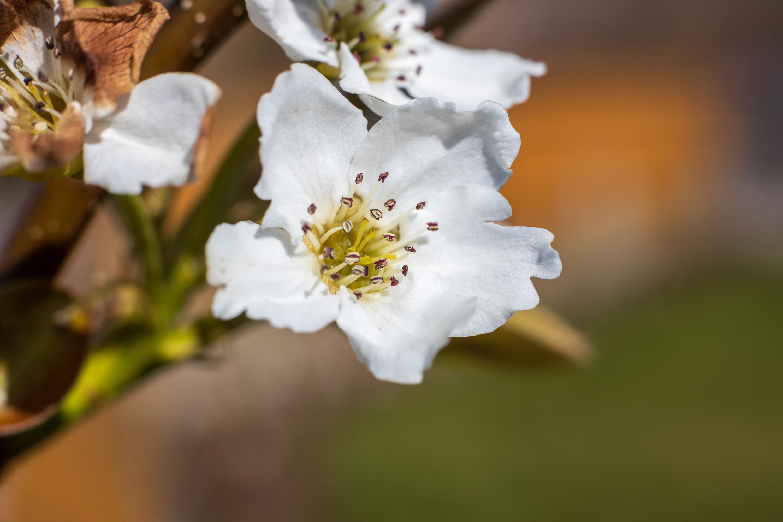 Blossom with extension tube - Voigtländer Septon 50mm f2