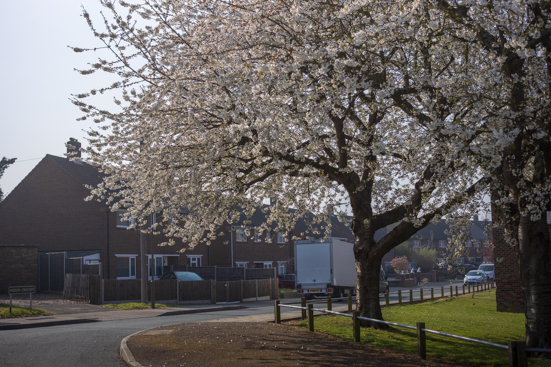 Cherry blossom - Voigtländer Septon 50mm f2