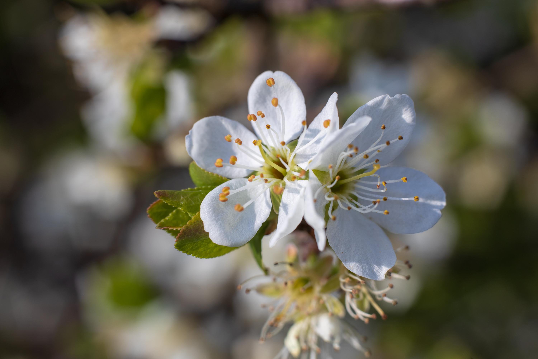 Blossoms using extension tube - Voigtländer Septon 50mm f2