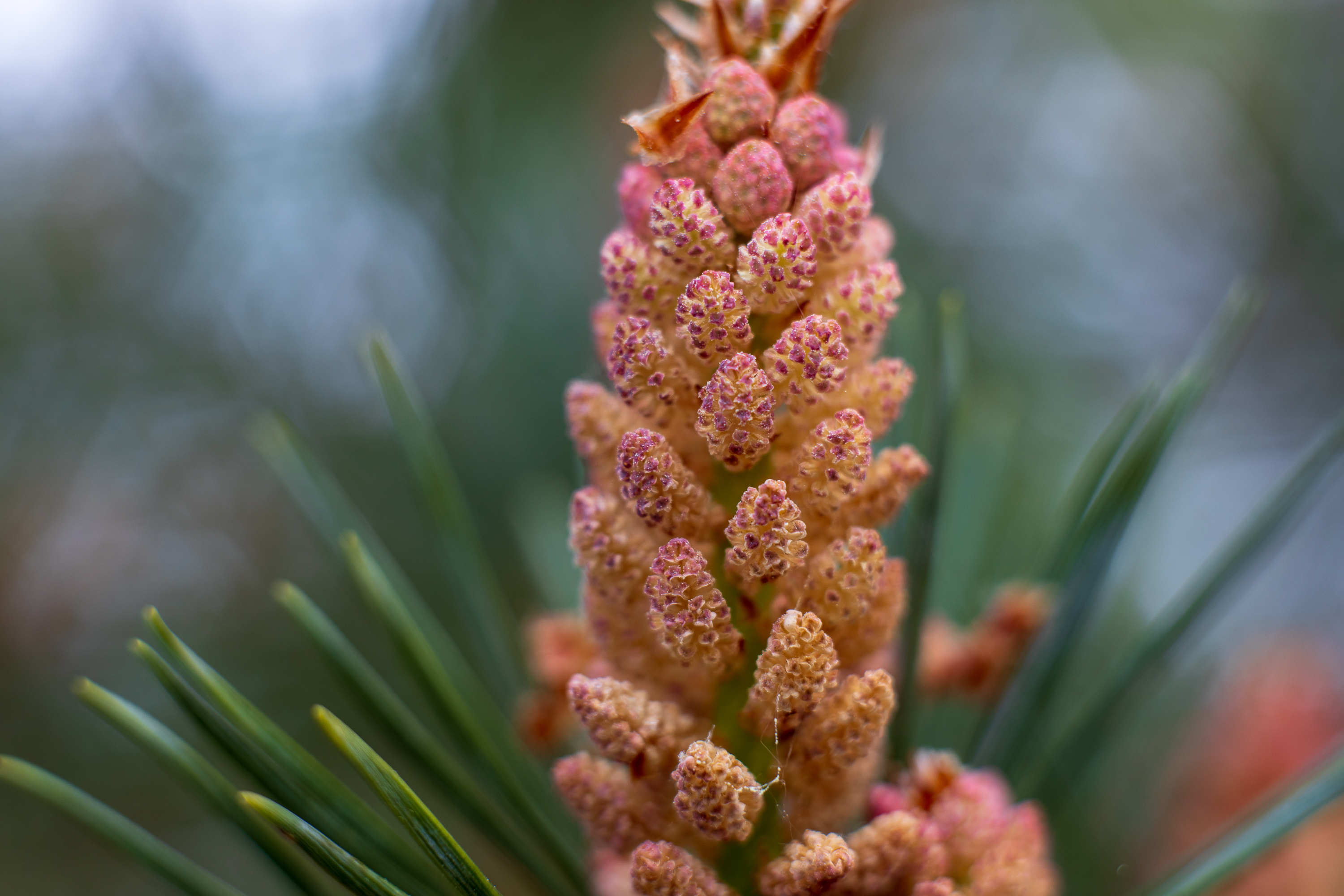Pine bud with Mamiya Sekor 50mm f2 and extension helicoid