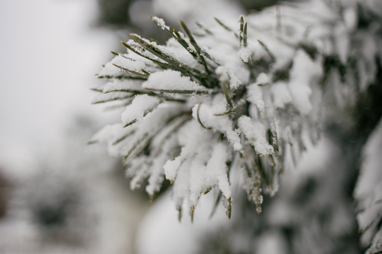 Fir with snow
